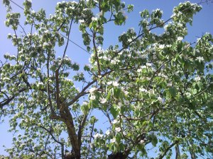 A bloomed Quince tree.